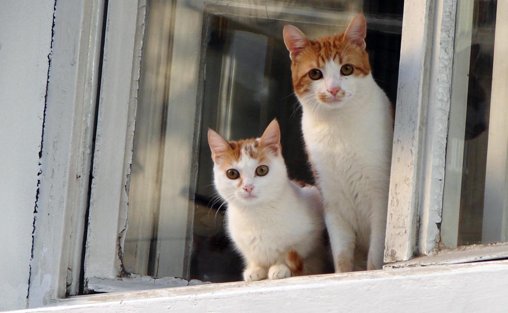 Katt och kattunge tittar ut genom fönster